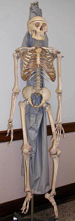 http://anatomy-online.ru/images/anatomy/Skeleton.jpg
